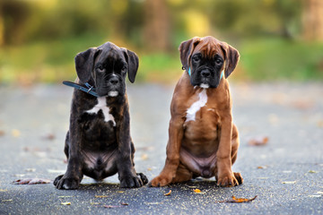 two german boxer puppies sitting outdoors together
