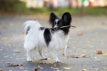 papillon dog holding a stick in mouth