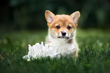welsh corgi pembroke puppy posing oudoors