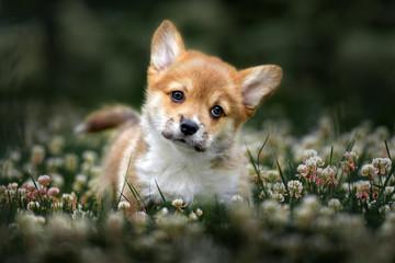 adorable corgi puppy walking on a clover field