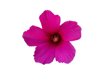 Pink hibiscus flower on a white background.