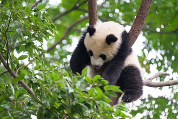 Giant Panda sleeping high up a in tree in Chengdu China