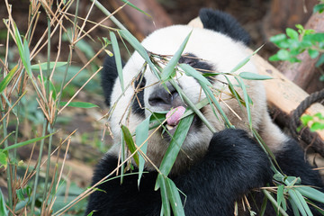 Portait of a Giant Panda eating bamboo leaves with the help of his tongue in Chengdu China