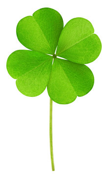 clover isolated on white background, clipping path, full depth of field