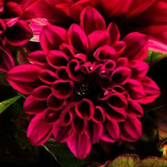 Poster de jardin Dahlia Beautiful macro photo of dahlia