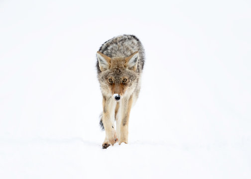 Coyote in Winter - Yellowstone National Park