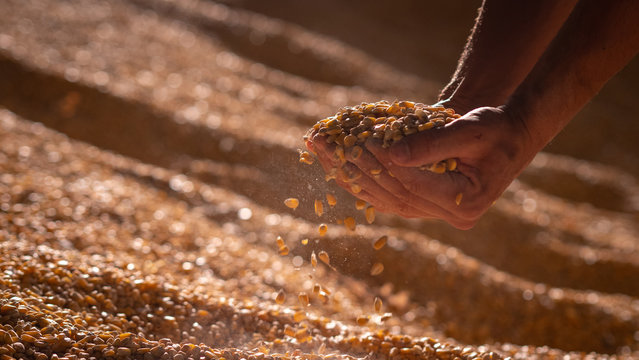 Close up shot of an young successful man farmer is controlling with his hands at the moment harvested corn grains in a agricultural silo.
