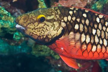 Stoplight Parrotfish (Sparisoma viride), Reefs of Bonaire