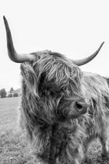 Spoed Foto op Canvas Buffel Schottisches Hochlandrind