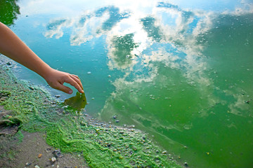 Child hand and blue-green algae. Water pollution by blooming Cyanobacteria is world environmental problem. Ecology concept of polluted nature. Wall mural