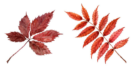 Dry leaves of mountain ash and wild grapes.