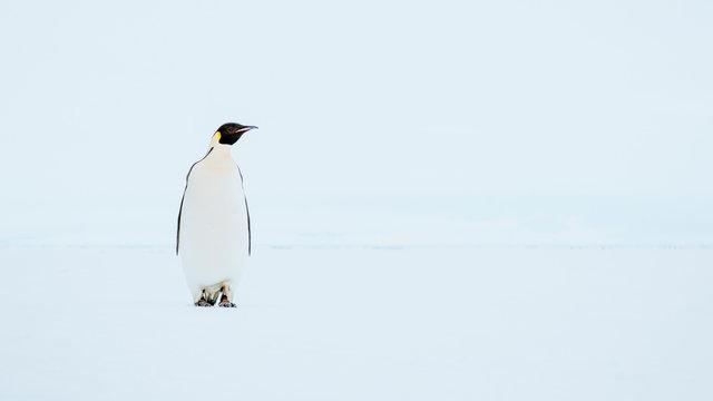 Emperor Penguin standing in snowy landscape