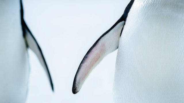 Close up of Adelie Penguin's flipper