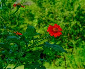 A Brown Moth on Red Flower in a Green Garden
