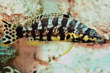 Harlequin Bass (Serranus tigrinus), Reefs of Bonaire
