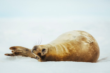 Weddell seal relaxing on snow