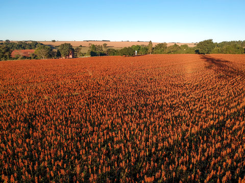 Aerial view of red sorghum field in Brazil