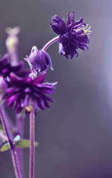 Aquilegia vulgaris black barlow