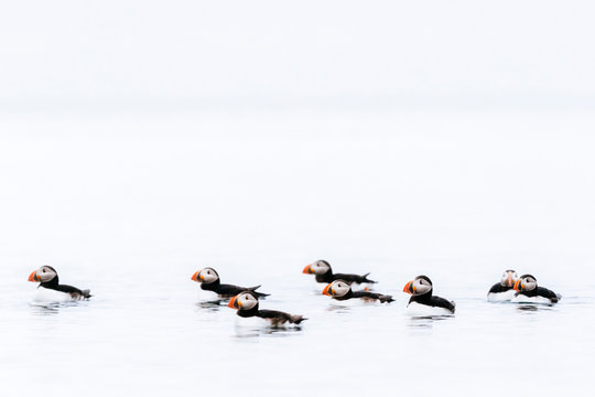 Atlantic puffins swimming in sea