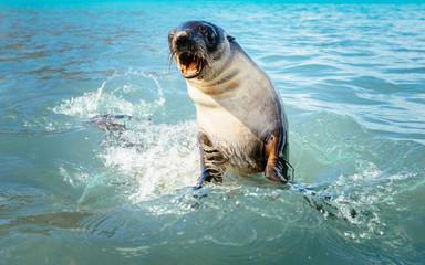 Feisty fur seal, Jason Harbour, South Georgia Island.