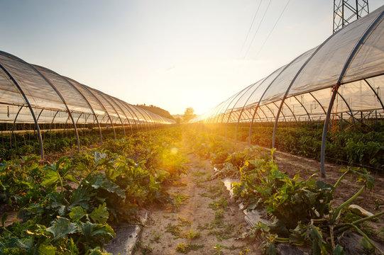 Vegetable plants growing inside big green house.