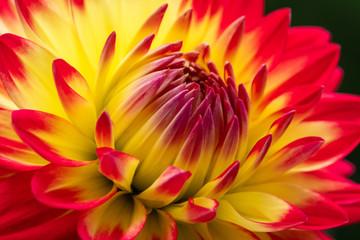 closeup of dahlia