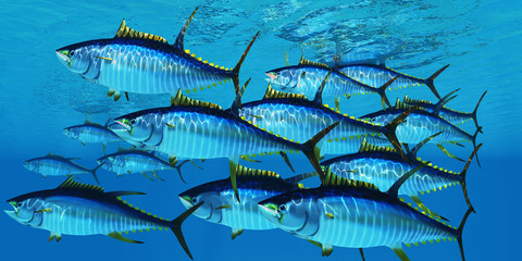 School of Yellowfin Tuna - Yellowfin tuna fish swim in large groups looking for their prey such as large schools of ocean herring fish. Wall mural