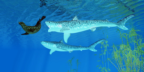 Tiger Shark attacks Seal - A fur seal makes a hasty retreat as two Tiger sharks pursue him near an ocean kelp forest.