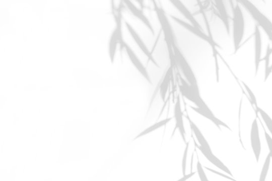 Gray shadow of the willow tree leaves on a white wall. Abstract neutral nature concept blurred background. Space for text.
