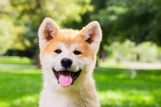 Portrait of a puppy purebred Japanese dog Akita inu in the park