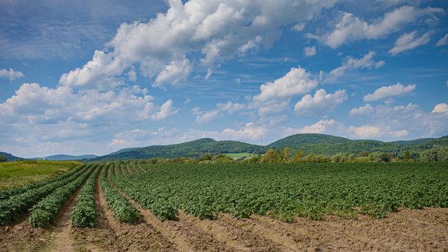 Maine Potato Field