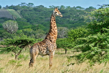Photo sur Aluminium Girafe Giraffe in hluhluwe nationa park