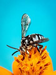 Image of neon cuckoo bee (Thyreus nitidulus) on yellow flower pollen collects nectar on blue...