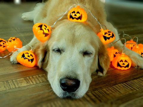 Golden retriever dog lay down with halloween pumpkin lights