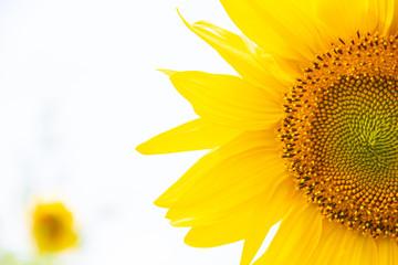 Fototapeten Gelb A field of sunflowers. Big yellow flowers field. Flowers with seeds.