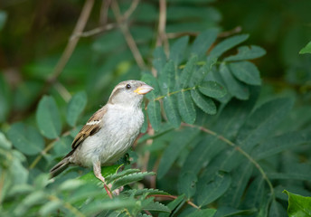 female house sparrow on a tree branch looking for food