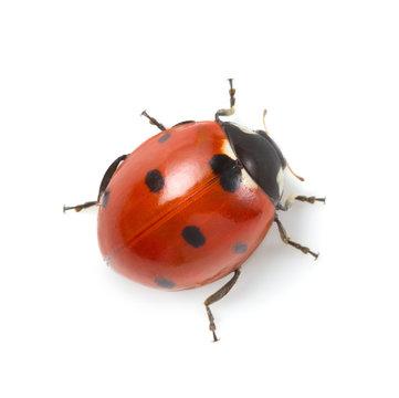 red ladybug on white background