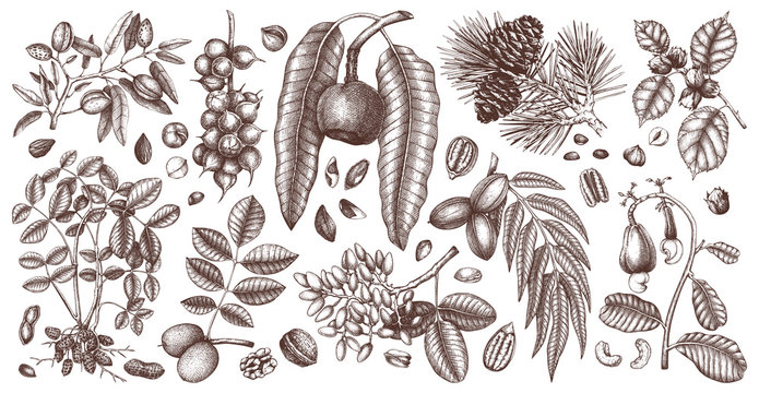 Hand drawn nut trees and plants botanical collection. With trees, branches, nuts, fruits, conifers and cones sketches. Culinary nuts vector illustrations. Healthy food illustrations.