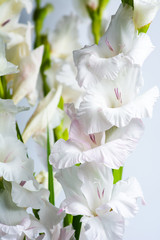 Gladiolus flowers in blossom on pink background