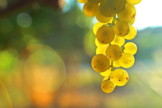 Grappe de raisin blanc transparence bokeh espace pour écrire lumière soleil