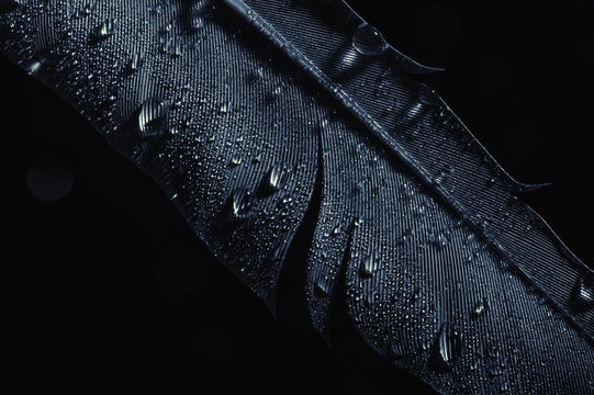 Fragment of bird's feather with water drops, close-up. Black and white.