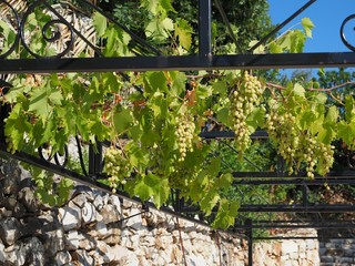 Corfu, Griechenland, Wein reift an einem Spalier