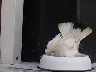 Taube erfrischt sich in einem Wassernapf für Hunde, Corfu, Corfu-Stadt, Griechenland