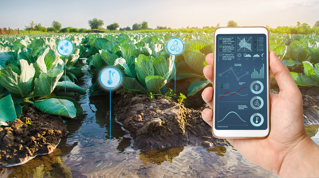Farmer holds a smartphone on a background of a field with a cabbage plantations. Agricultural startup. Automation and crop quality improvement. High technology, innovation. Irrigation, watering