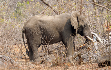 Bull African elephant in dry bushland
