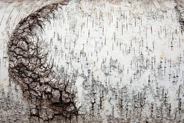日本 山梨県 北杜市 白樺の木