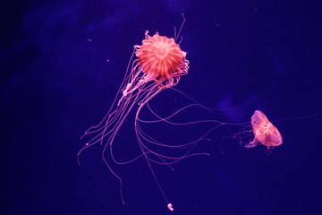 macro of a beautiful jellyfish chrysaora quinquecirrha