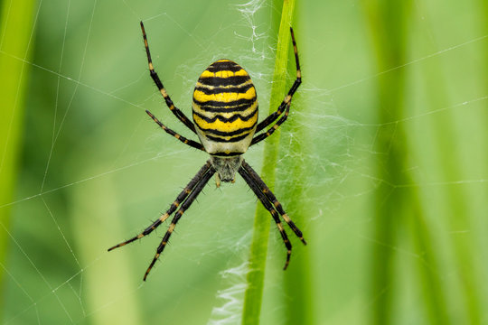 Spider Argiope Bruennichi on its web