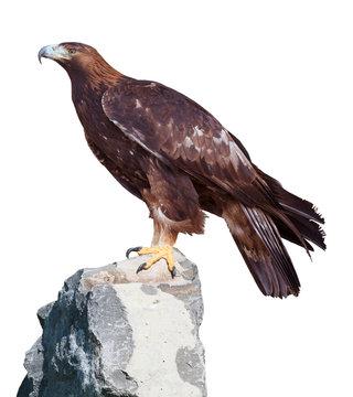 Golden Eagle (Aquila chrysaetos]) portrait. Isolated on white Background
