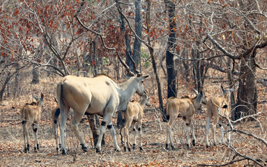 adult Eland antelope with group of young